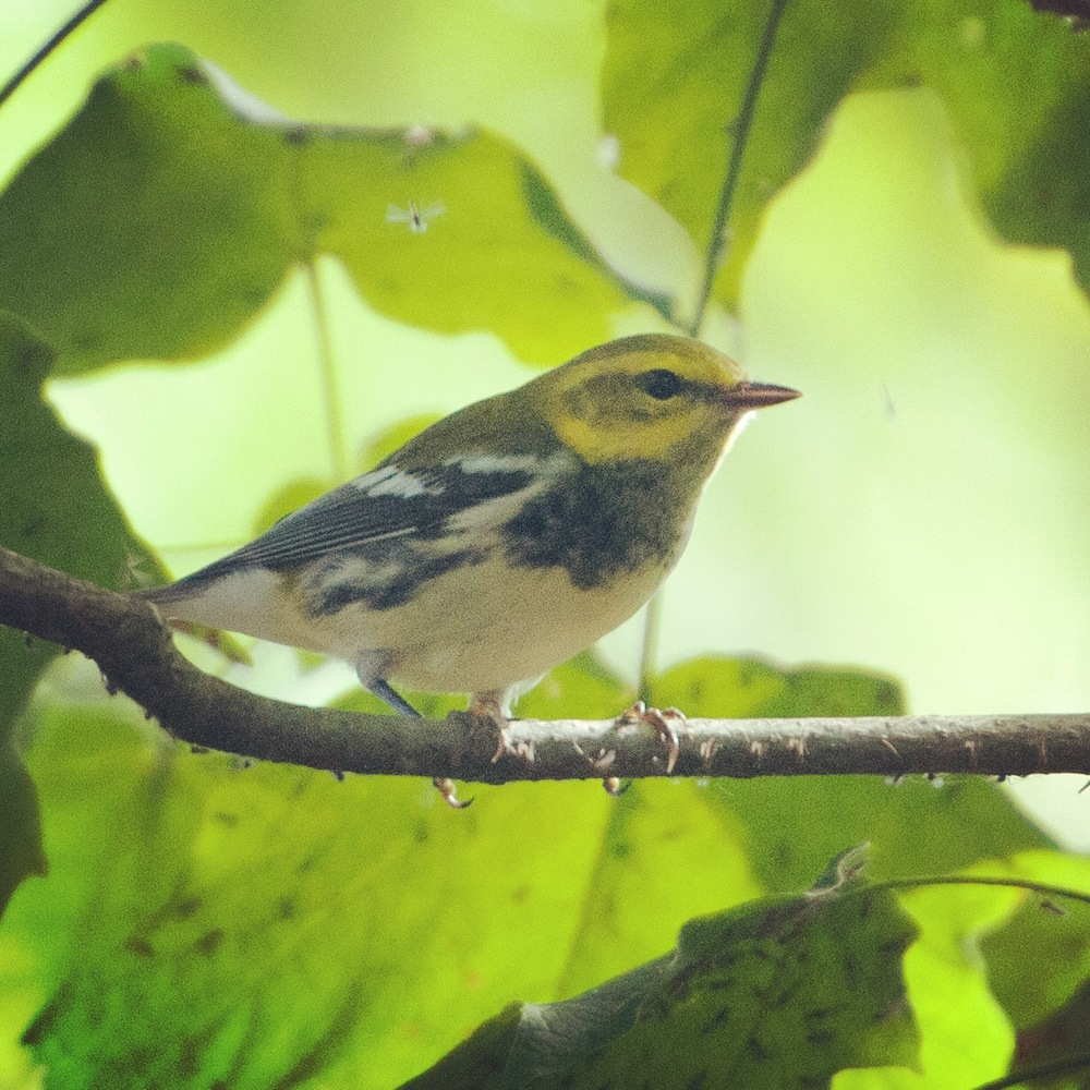 Female Black-throated Green Warbler