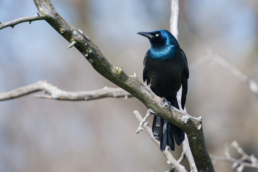 A Grackle looking sleek and serene...
