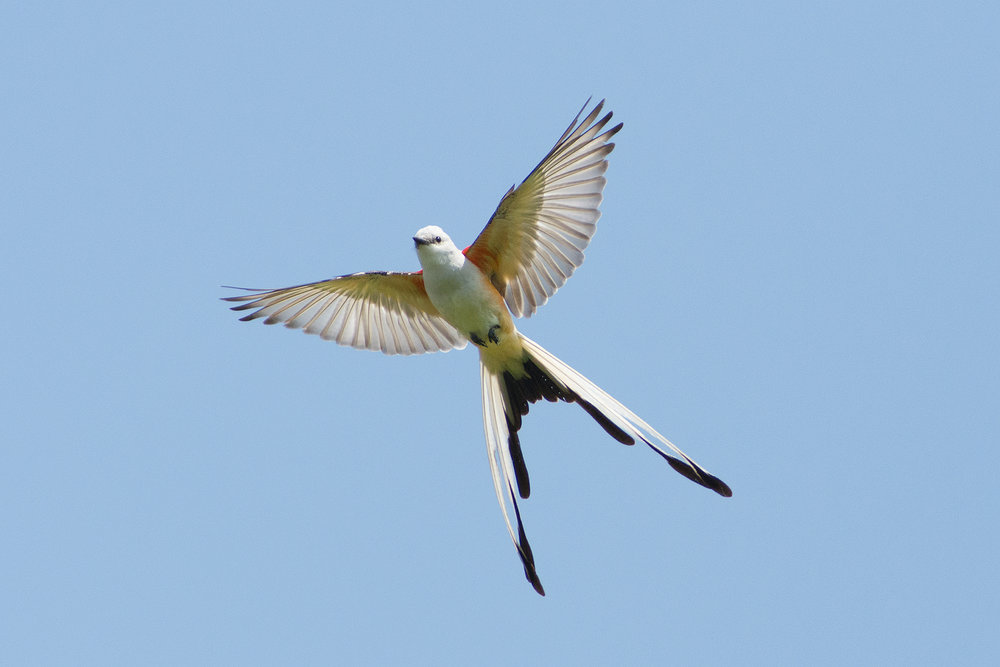 Behold the gloriousness of a Scissor-tailed Flycatcher