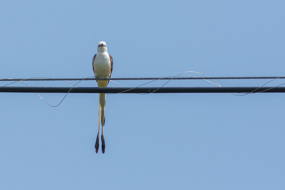 Leave it to a bird this elegant to find a pretty power line.