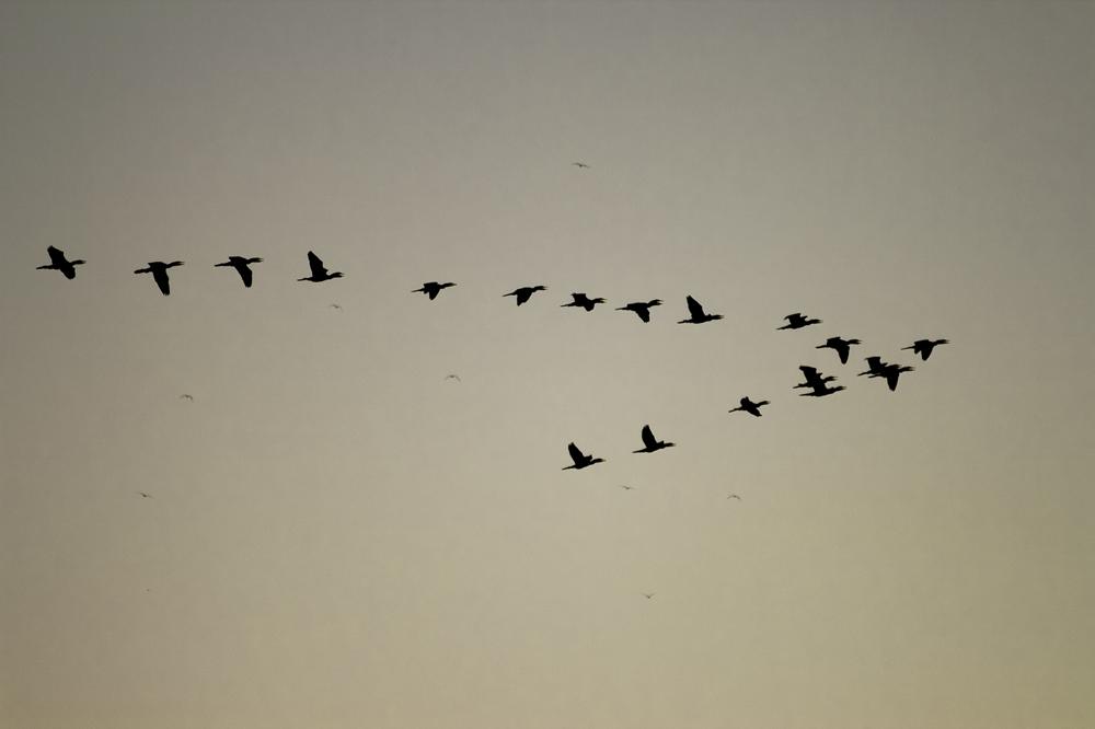 Voando em bando