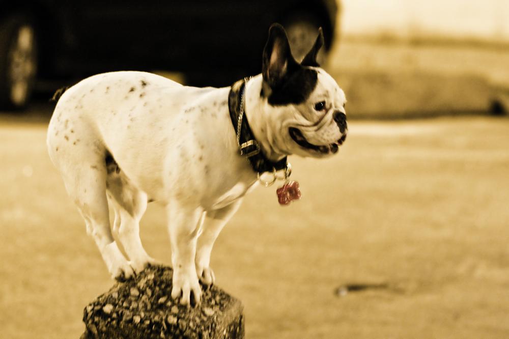 Cachorro de circo
