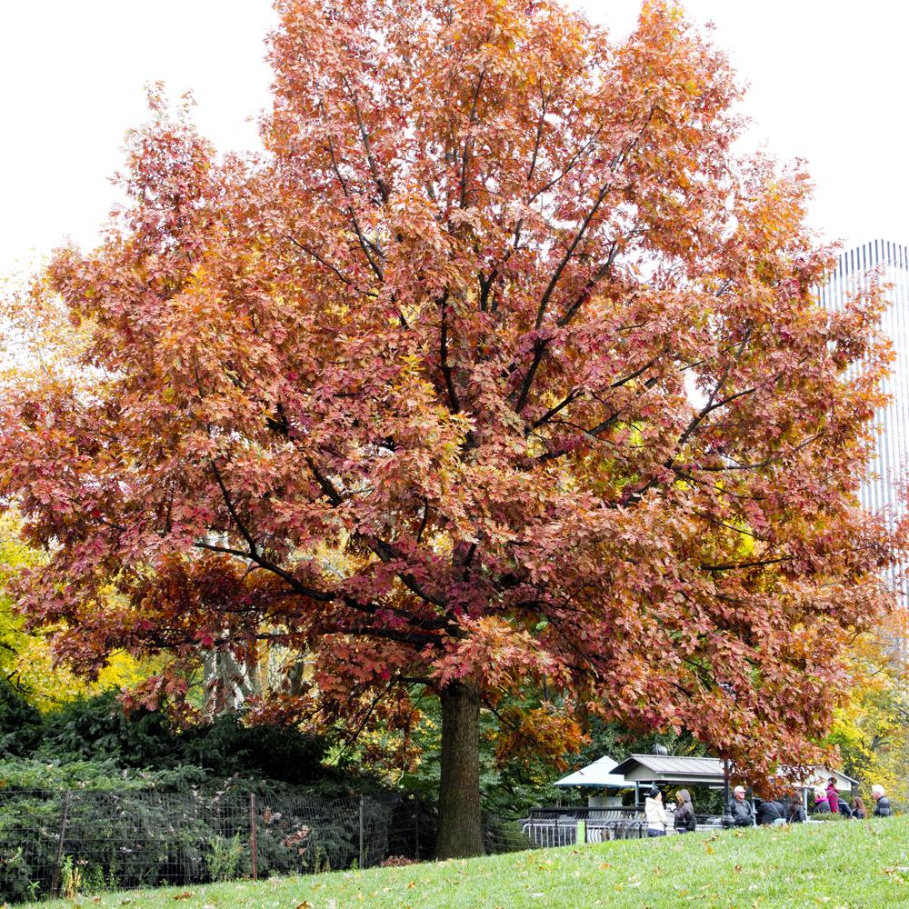 Árvore vermelha