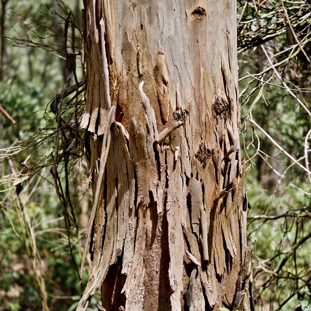 tronco, tankamana 1.png