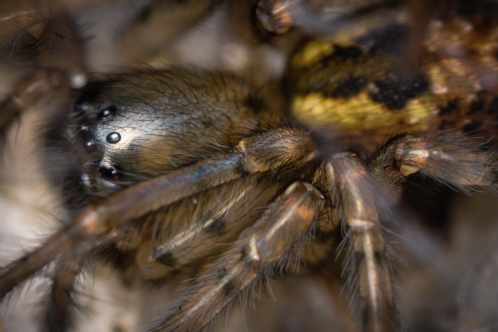 Mörkerspindel, Amaurobiidae