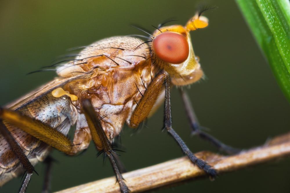 Myllfluga, Heleomyzidae