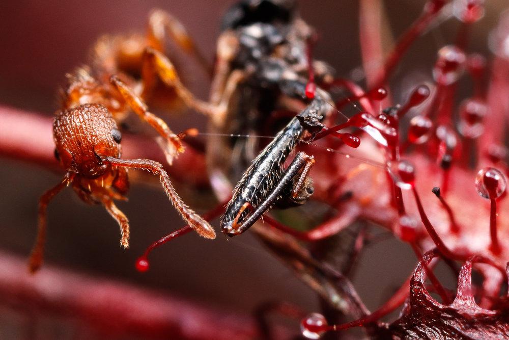 Myrmica sp. + Drosera intermedia, rödmyra på småsileshår