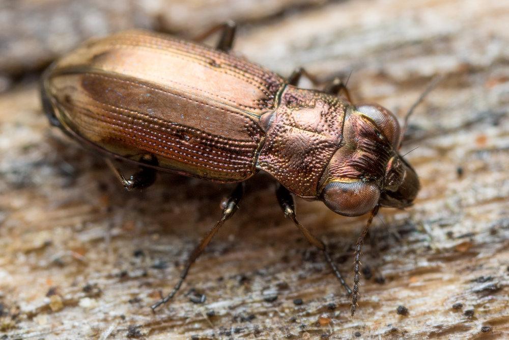 Notiophilus quadripunctatus, ögonlöpare