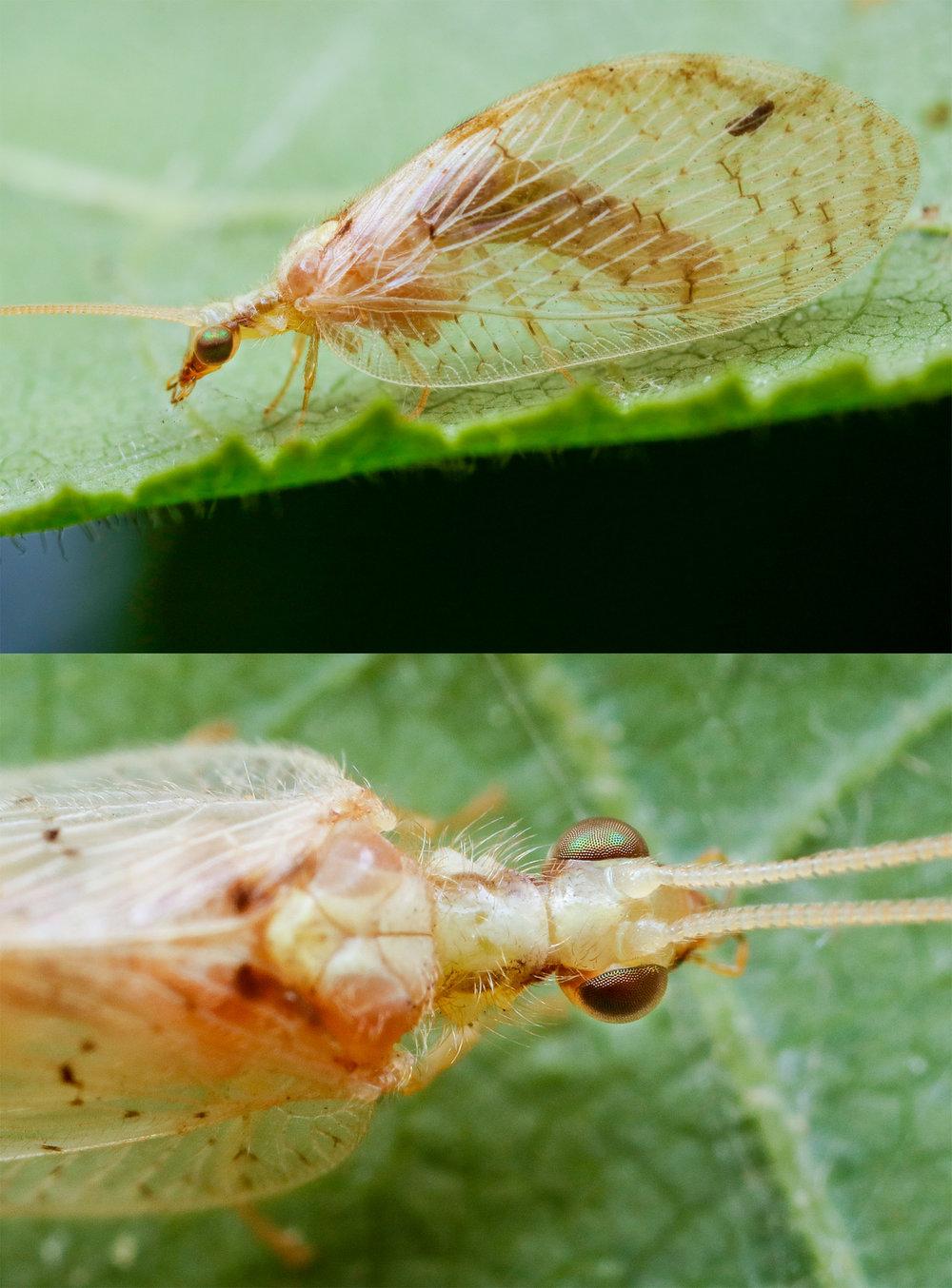 Hemerobius cf. marginatus, florslända