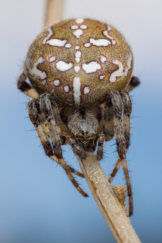 Araneus quadratus, kvadratspindel