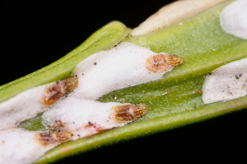 Coccoidea, Sköldlöss på blåbär