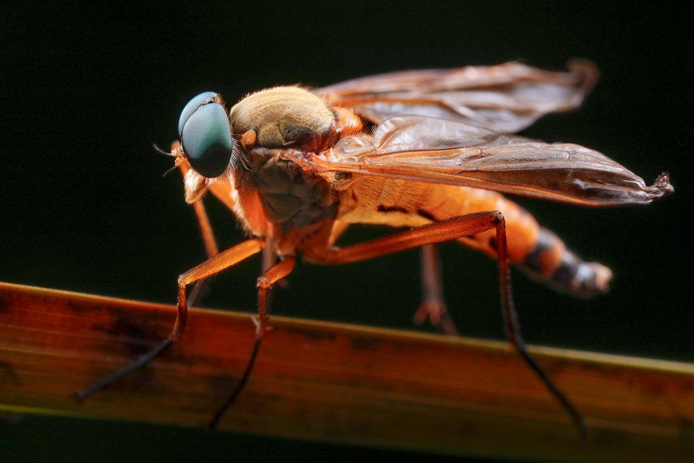 Rhagio tringarius ♂, snäppfluga