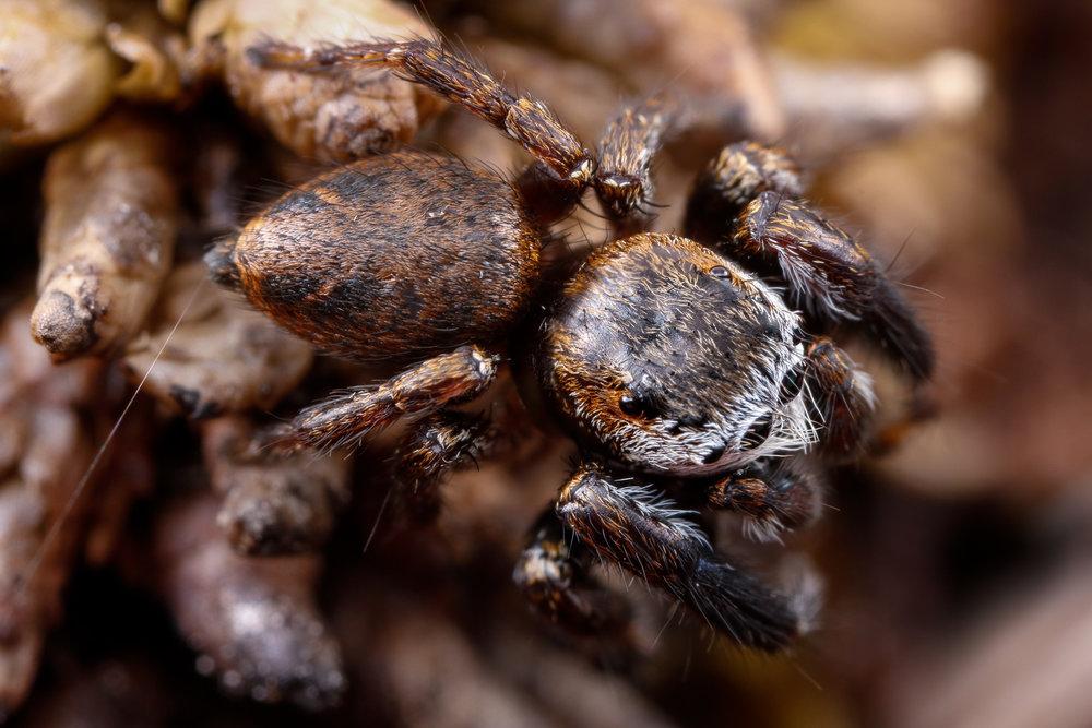 Evarcha arcuata ♂, bandithoppspindel
