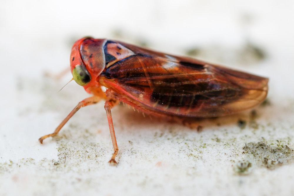 Idiocerus sp., dvärgstrit