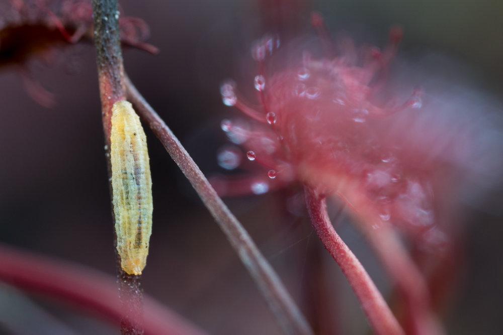 Syrphidae + Drosera, blomflugelarv på småsileshår