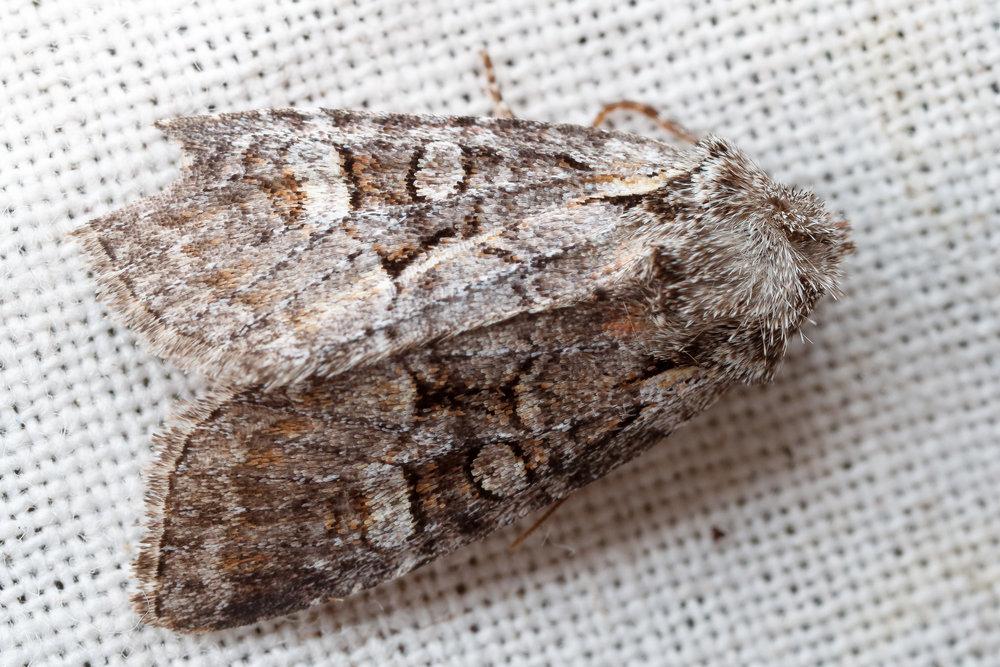 Brachylomia viminalis, allmänt pilfly