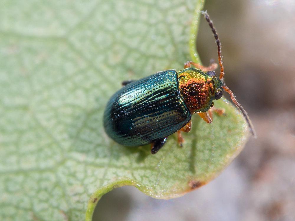 Crepidodera aurata, bladbagge (fynd: Lars Magnius)