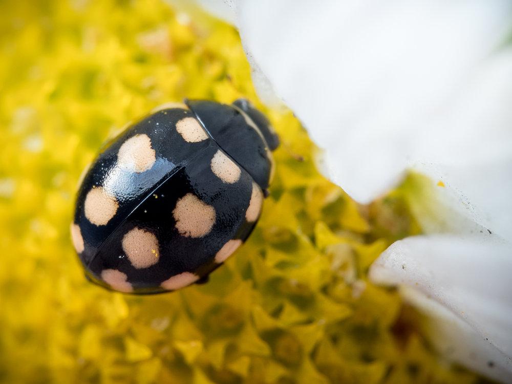 Coccinula quatuordecimpustulata, fjortonprickig torrbackspiga