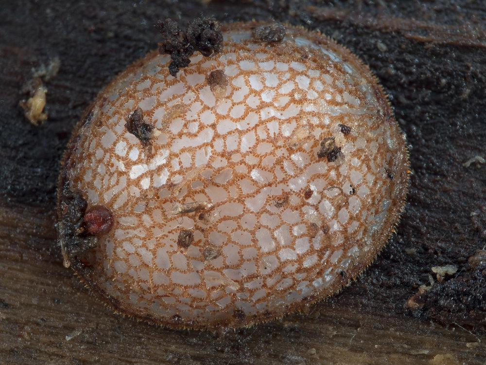 Microdon sp., myrblomfluga (larv)