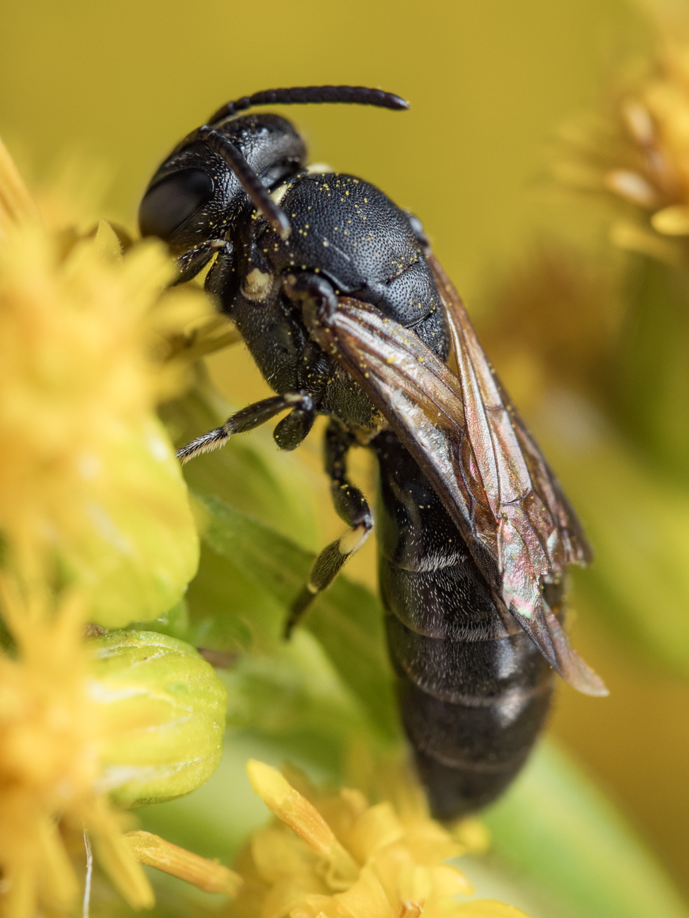 Hylaeus sp., citronbi
