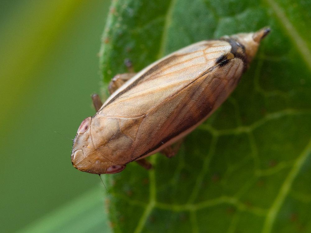 Neophilaenus lineatus, spottstrit