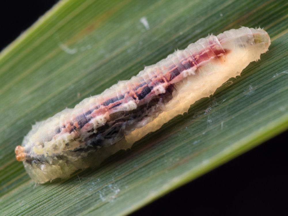 Syrphidae, blomfluga (larv)