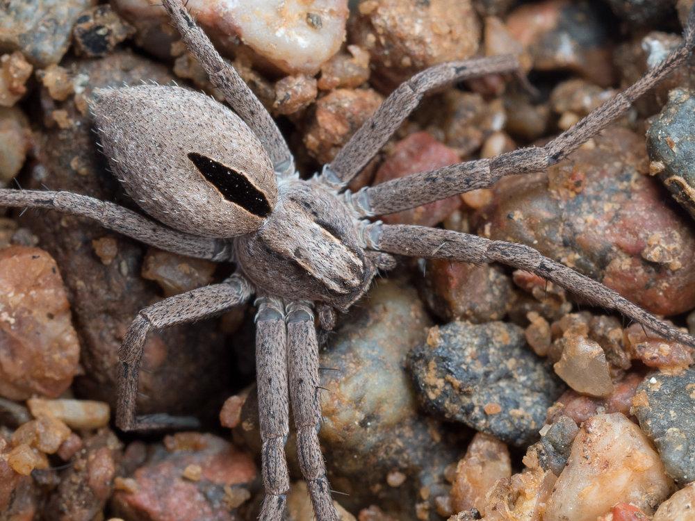 Thanatus formicinus, lansettsnabblöpare