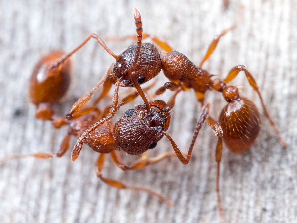 Myrmica sp., rödmyror