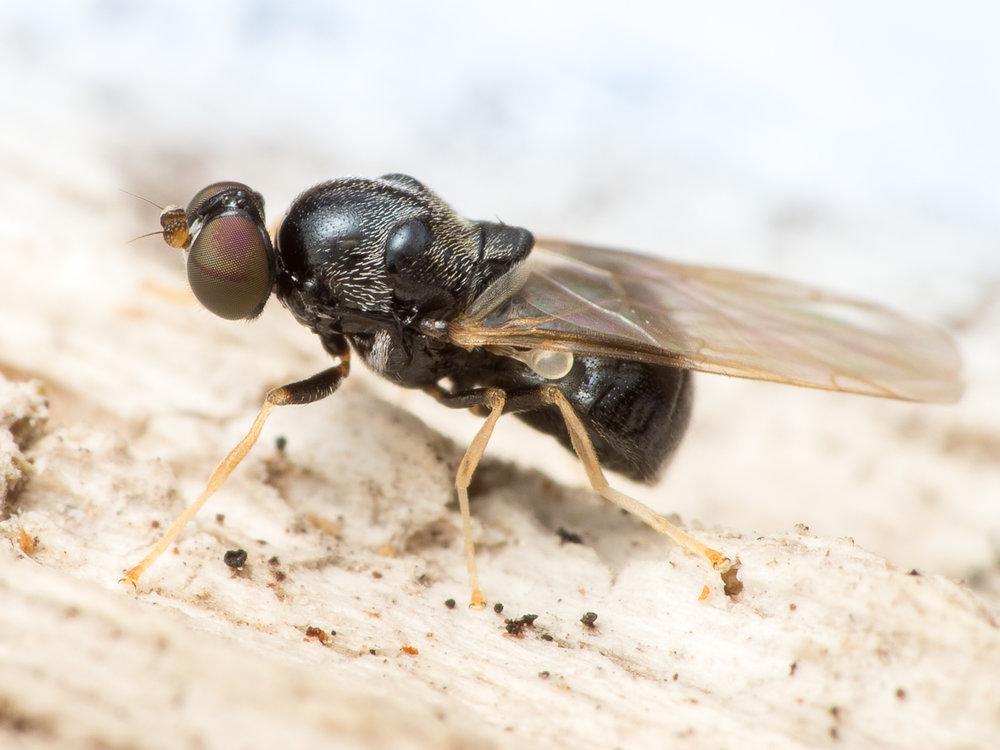 Neopachygaster meromelaena, silverkindad barkvapenfluga