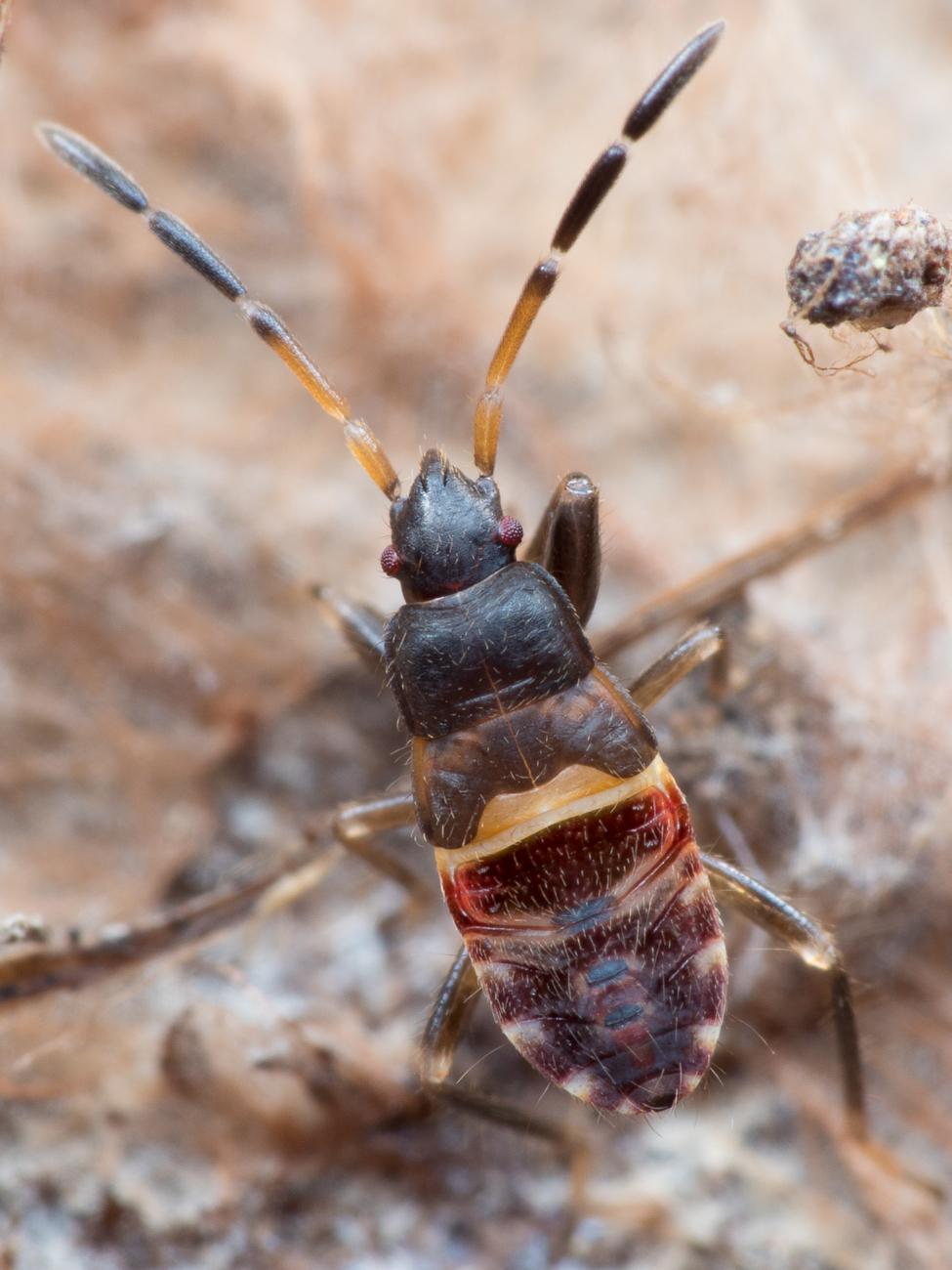 Eremocoris sp.,  fröskinnbagge (nymf)
