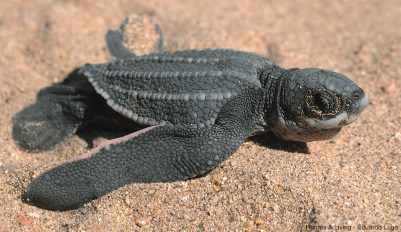 The leatherback sea turtle which returns to Sans Amen to lay its eggs takes on a symbolic value in the novel
