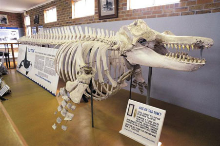 Skeleton of Killer whale that aided whalers in their hunts at the Eden Killer Whale Museum