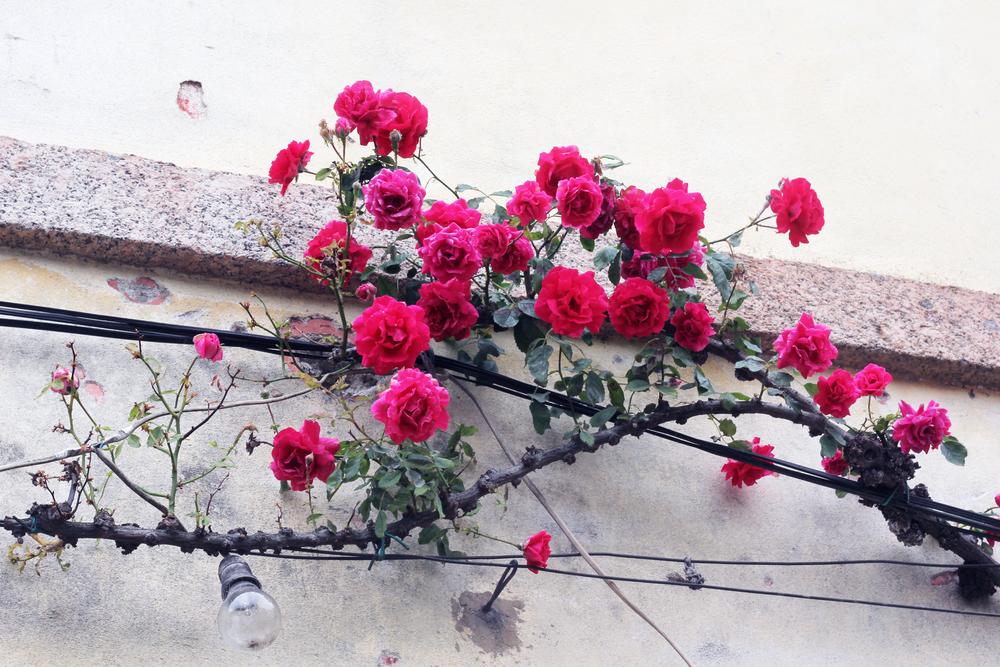 rosengren.jpg