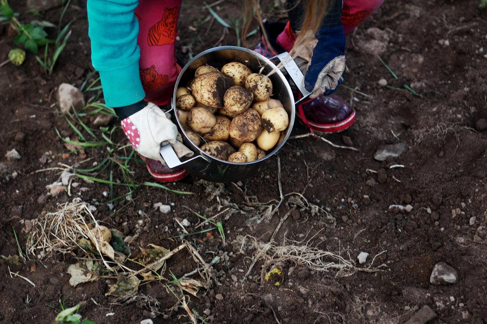 Mer landet, potatisåkrar, familj & får.
