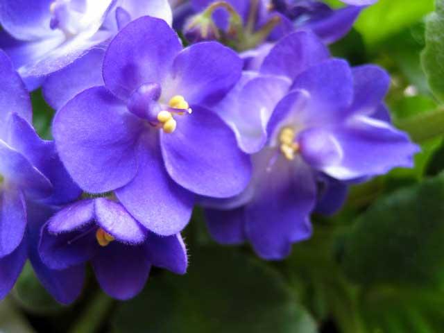 violets-susan.jpg