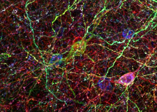 "Inhibitory Neurons Controlling Brain Plasticity .  A class of inhibitory interneurons called ""PV-cells"", which orchestrate the timing of critical periods of brain development. Here PV-cells of the mouse cortex have been labelled using Brainbow technology.   {Courtesy of Luke Bogart, Dawen Cai, Jeff Lichtman & Takao Hensch }"