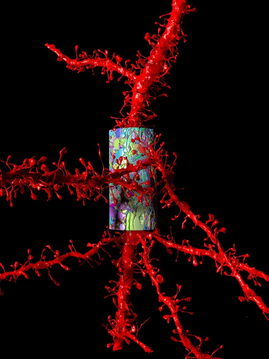 A Tiny Piece of the Connectome:  A small portion of the apical dendrite of a pyramidal neuron in the mouse cortex is shown in red. The multicolor cylinder reveals a thin sliver of the surrounding brain tissue. Reconstruction based on serial scanning electron microscopy. (This image represents the work of Daniel Berger (formerly at MIT), Bobby Kasthuri and Richard Schalek in the lab of Jeff Lichtman.)