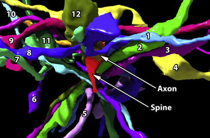 The Dense Tangle of Axons Contacting a Single Dendritic Spine.     In red is a single dendritic spine and in the other colors are twelve axons that 'touch' this spine. Yet only one of these twelve axons (the yellow one, pointed out by the arrow) makes a synapse with this spine. Figure excerpt from    Kasthuri et al. Cell 2015   . To view supplementary movie,    click here   .