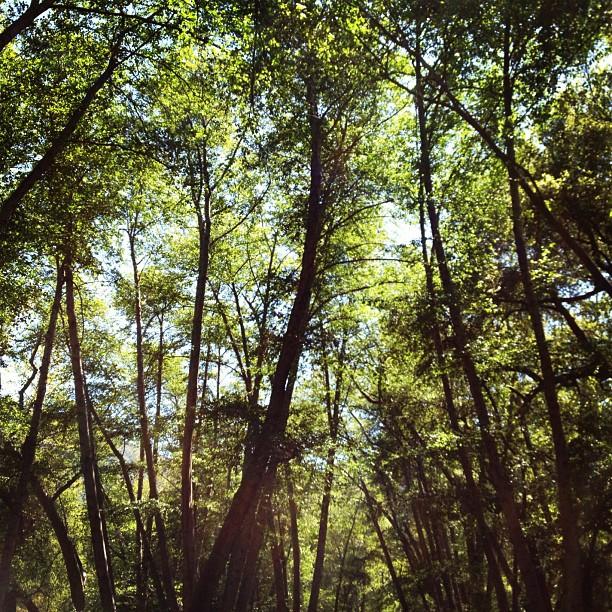 Ojai valley trees. (Taken with  instagram )