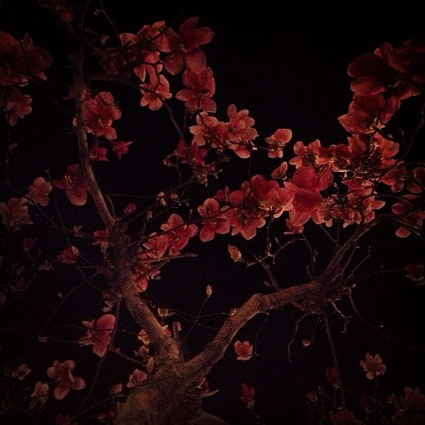 Magnolia tree. On this particular one, the pink flowers bloom first, then its green leaves grow. #starshapedflowers #treesbynight #nocturnal #221131043