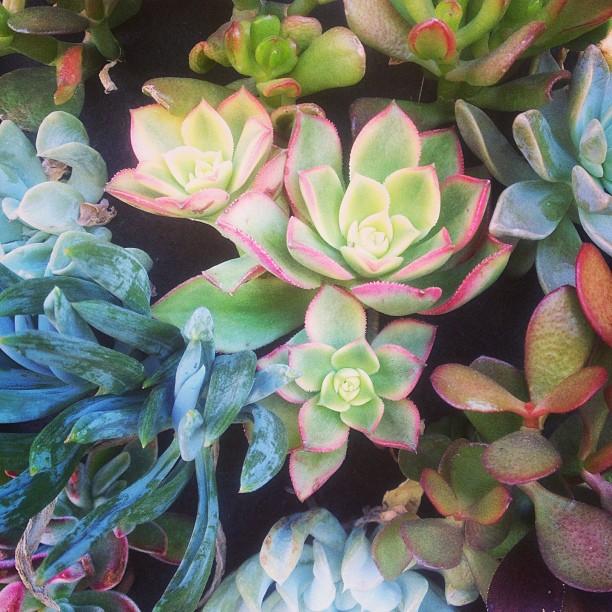 Echeveria. #succulents #patience