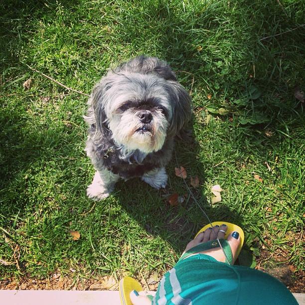 St. Patty Sunday. 🐶 💚🍀 #oldmanangel #shihtzu #greendaaay  (at Moorpark Park)