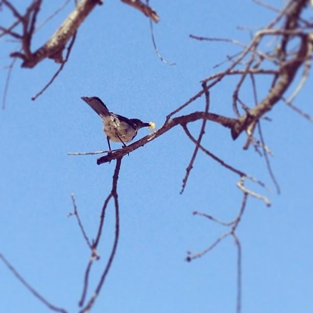 Bluebirds love Maui Onion chips too! #santabarbara  (at Cachuma Lake)