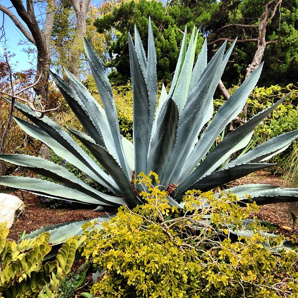 Agave. (Taken with  instagram )