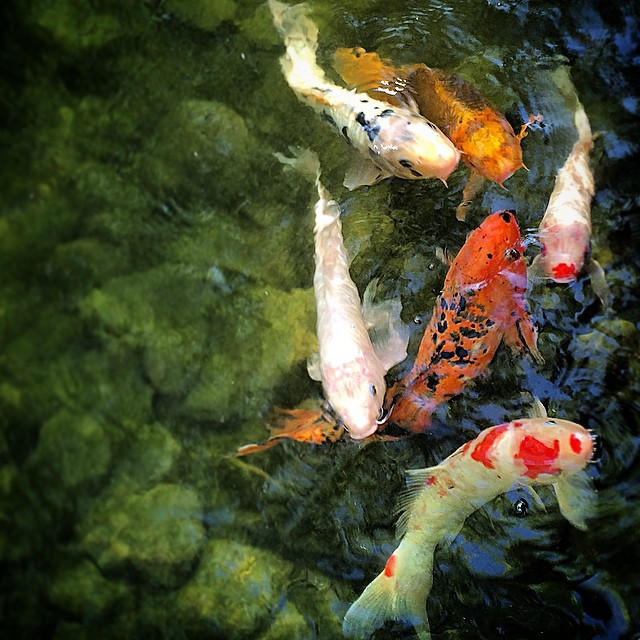 Nishikigoi, aka koi is also symbol for love and affection. #water #garden #japan #meditative #heartrockontheleft #upsidedown #111214