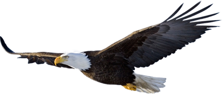 Bald-Eagle_small.png