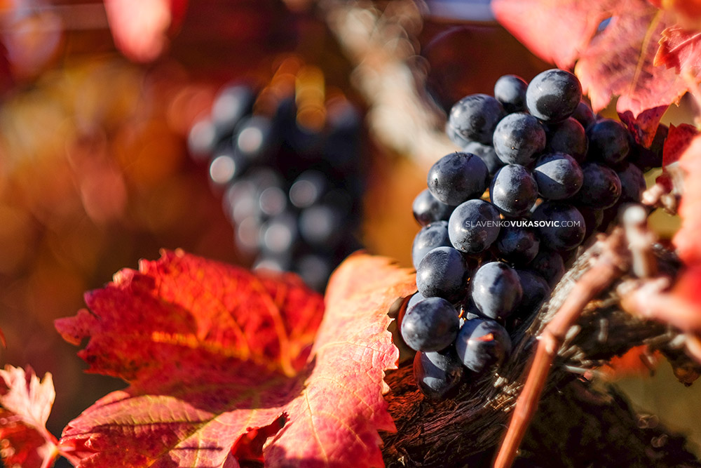 Vinograd u jesen (4).jpg