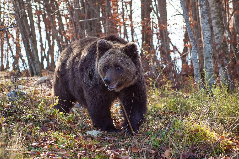 Mrki medvjed, stanovnik Orjena
