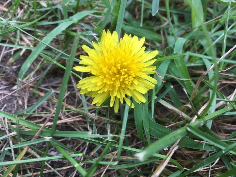 of course it's a dandelion. It's pretty.