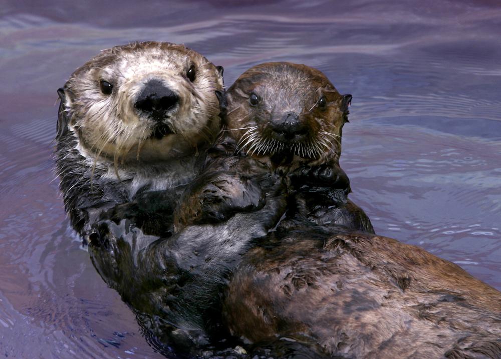 saving otters